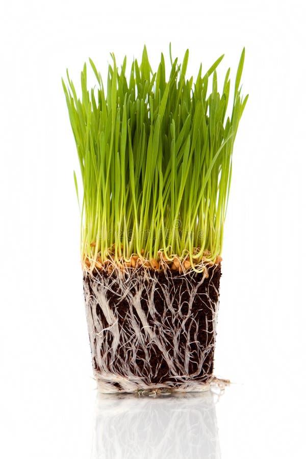 Wheatgrass stockbilder