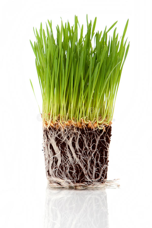 Wheatgrass. Green fresh wheatgrass on white background royalty free stock images