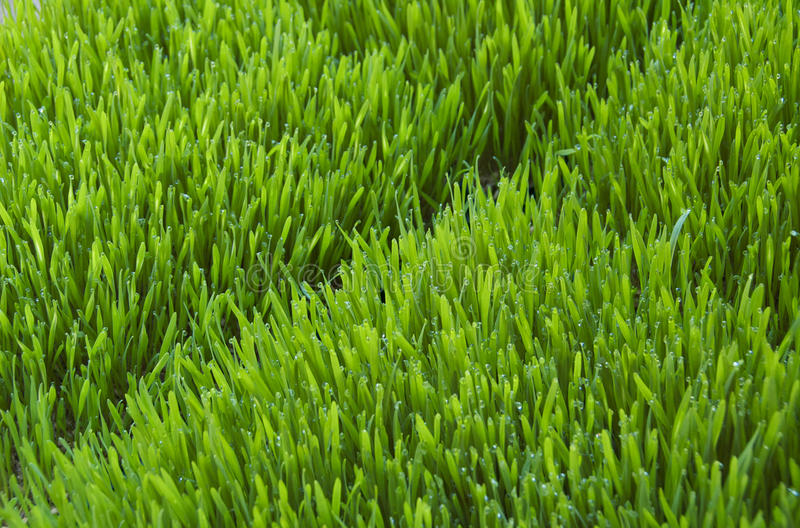 Wheatgrass. Tray of bright green wheatgrass covered with dew (triticum aestivum); freshly juiced, it provides supplemental nutrition and has unique curative royalty free stock image