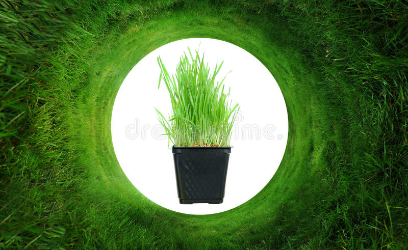 Wheatgrass. Organic Wheatgrass plant in the middle of a circular lawn royalty free stock photos