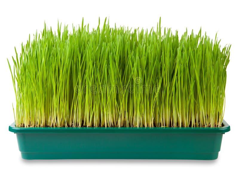 Wheatgrass. Fresh green wheatgrass on white royalty free stock images