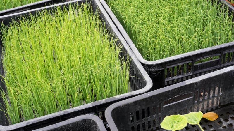 Wheatgrass imagen de archivo