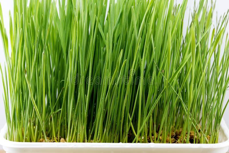 Wheatgrass arkivbild