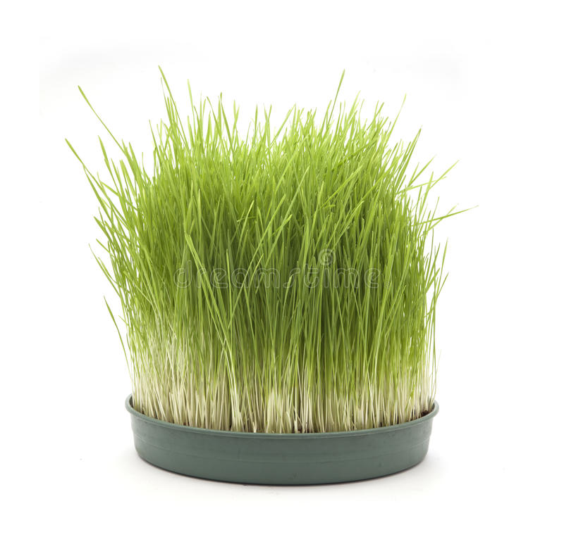 Wheatgrass foto de stock