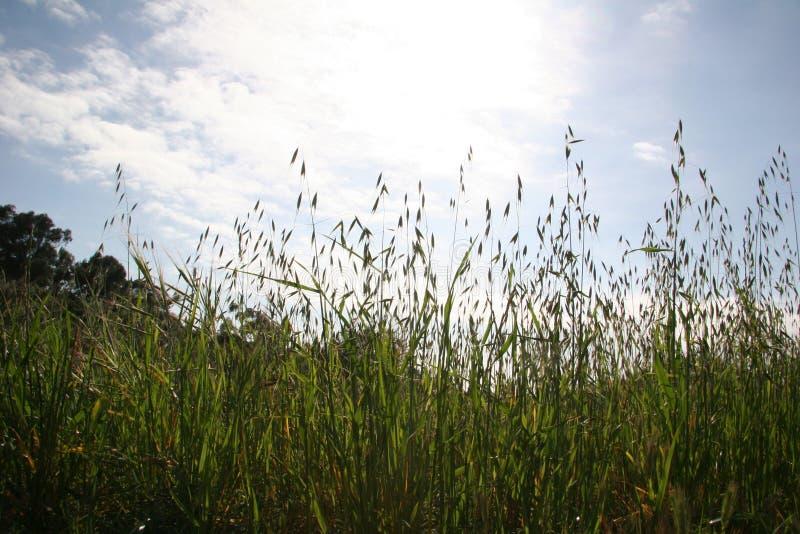 Wheatgrass alto no céu brilhante foto de stock