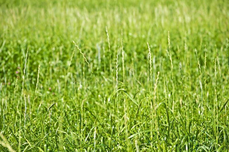 Wheatgrass altos, hierba de la energía foto de archivo libre de regalías