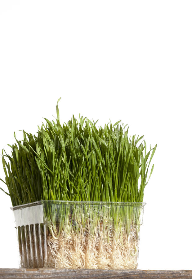 Wheatgrass. A container of wheatgrass on wood surface and on white background. Wheat grass can be traced back in history over 5000 years, to ancient Egypt and royalty free stock photos