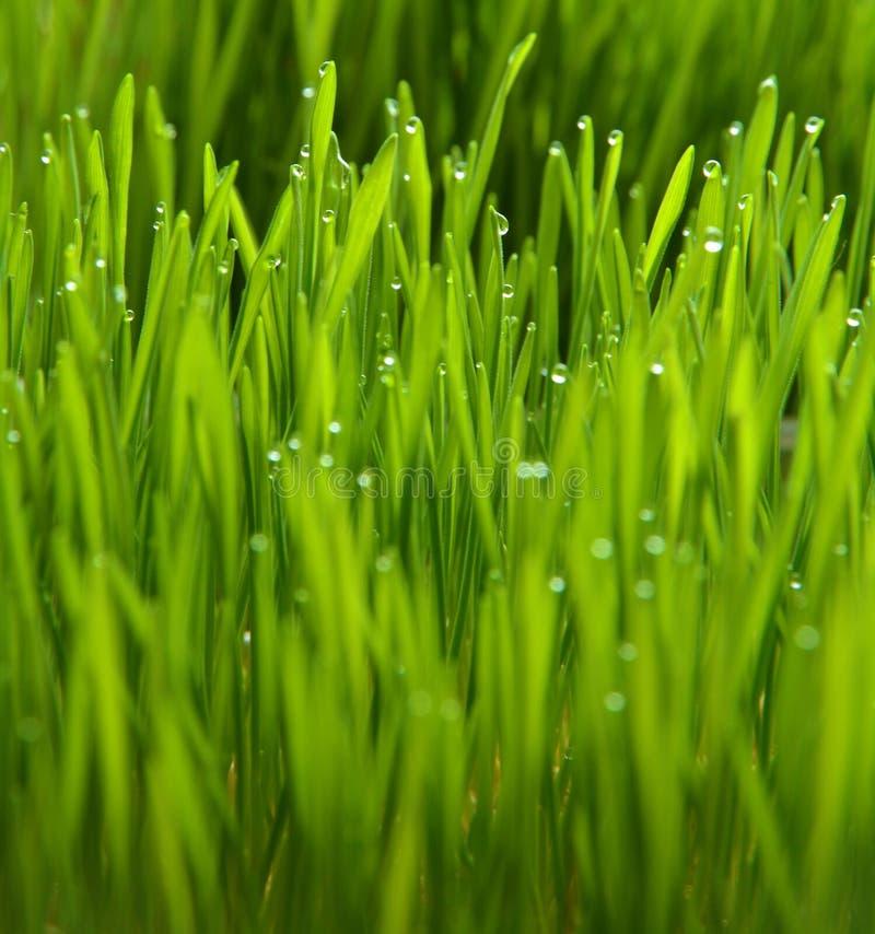 Wheatgrass and dew. Green wheatgrass and dew grow fresh stock photography