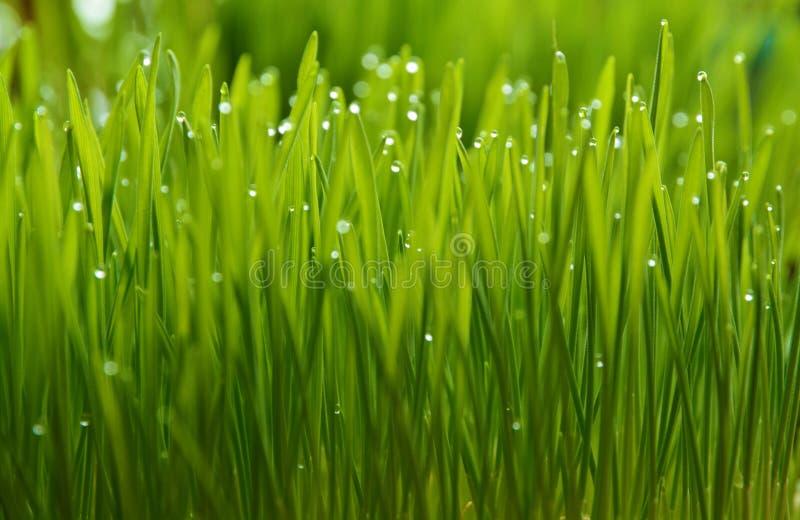 wheatgrass e orvalho fotos de stock