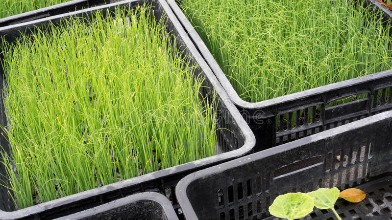 Wheatgrass. Is a food prepared from the cotyledons of the common wheat plant stock image