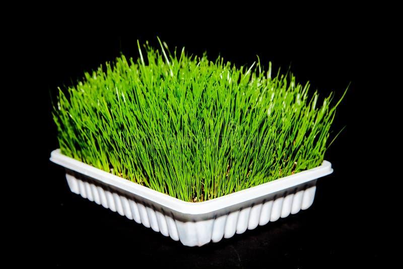 Wheatgrass. Fresh green Wheatgrass / wheat grass growing royalty free stock photos