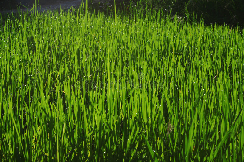 Download Wheatgrass And Grain Farming Stock Image - Image: 4619185