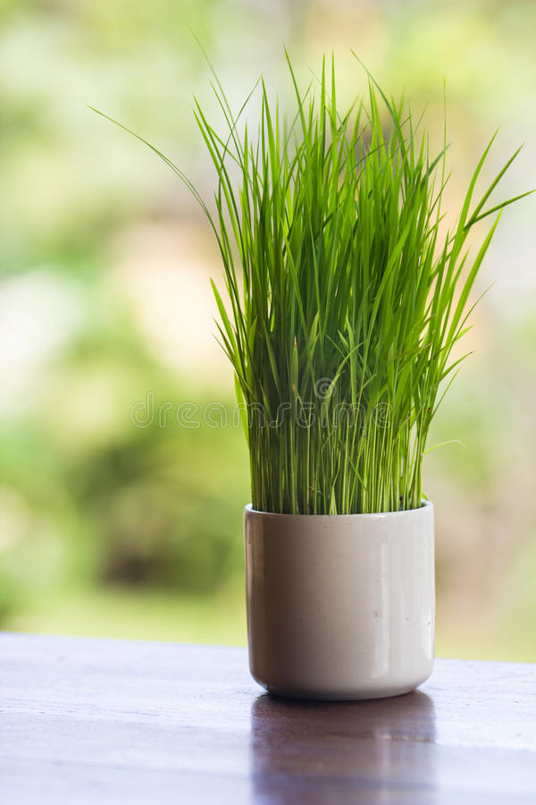 Wheatgrass. Growing in a white vase decorated tableware royalty free stock photos