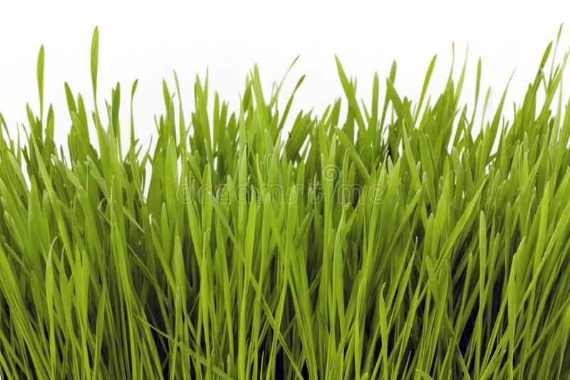 Wheatgrass image with copy space. Macro stock photography