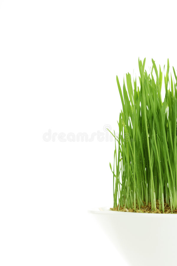 wheatgrass młodzi fotografia royalty free