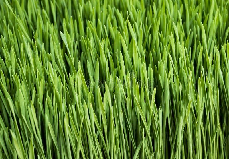 Wheatgrass. For sale at farm market stock photos