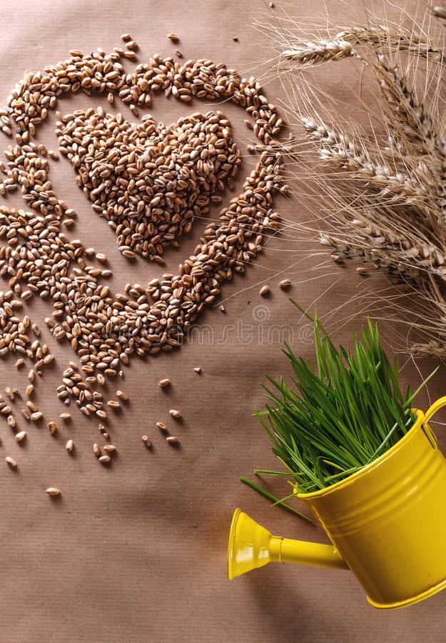 Wheat grass seeds heart shape with fresh wheat in watering can royalty free stock photos