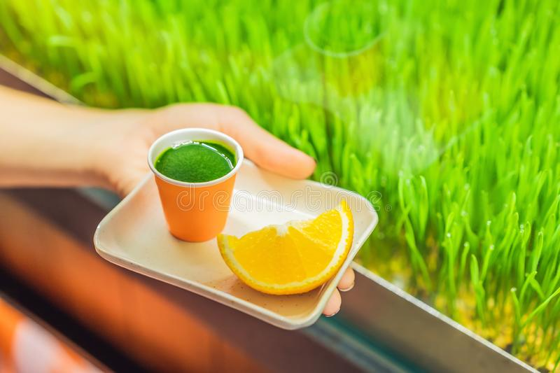 Wheatgrass shot. Juice from wheat grass. Trend of health. wheat grass royalty free stock photography