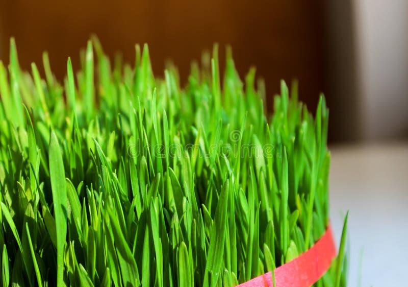 Wheatgrass. Tied up sunlit vibrant wheatgrass stock image