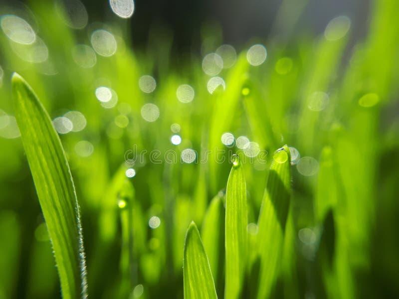 Wheatgrass verde - primer fotos de archivo