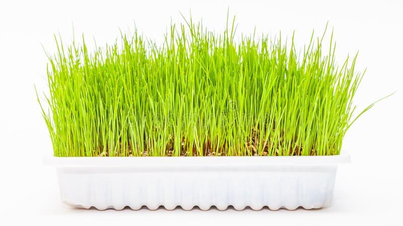Wheatgrass wheat grass. Fresh green Wheatgrass / wheat grass growing in white tray stock image