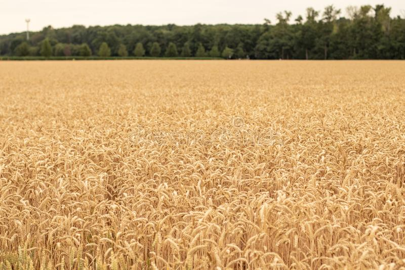 Weath field, shortly before harvest royalty free stock photography