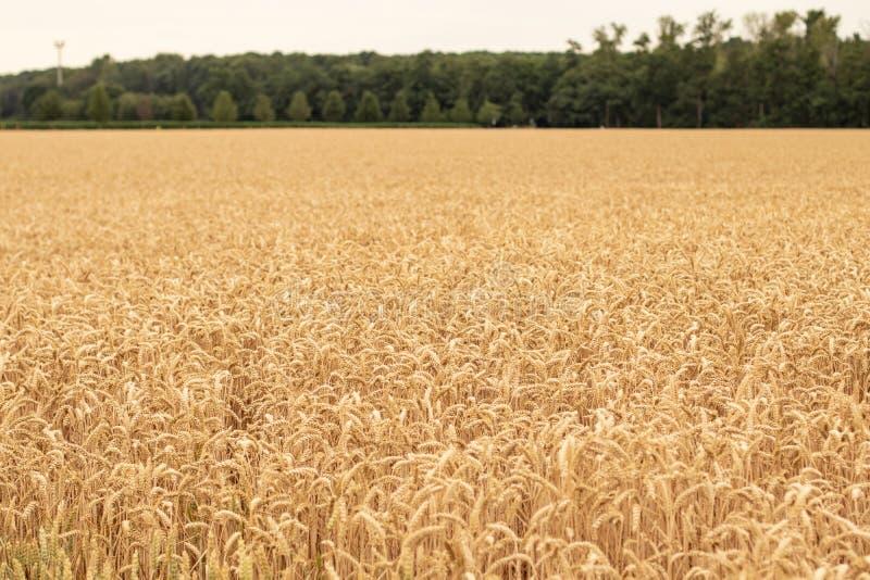 Wheath pole żniwo, króko przedtem fotografia royalty free