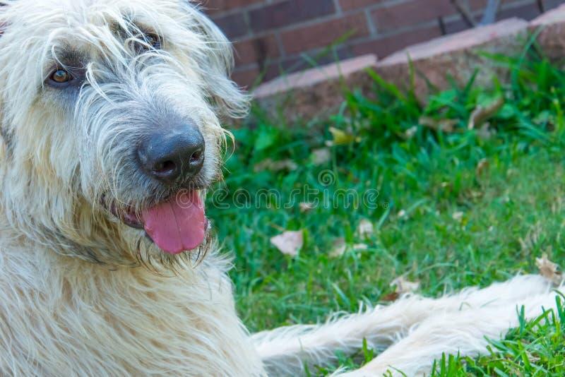Wheaton Irish Wolfhound arkivfoton