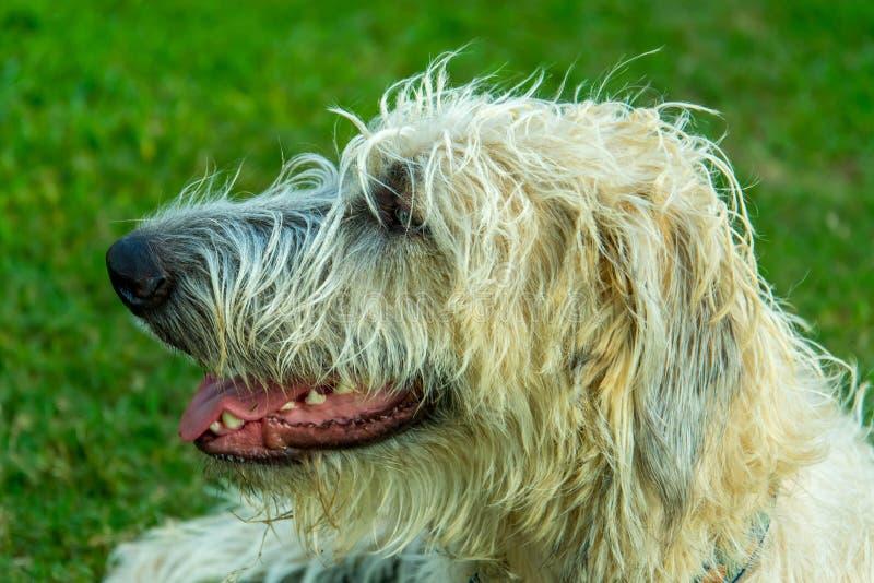 Wheaton Irish Wolfhound arkivfoto