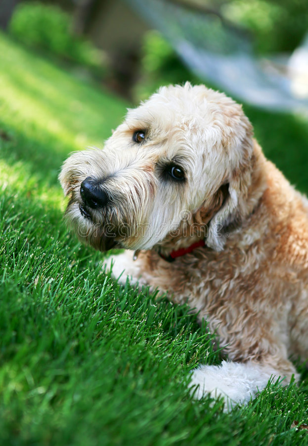 Download Wheaton Terrier In The Lawn Stock Image - Image of head, look: 5167089