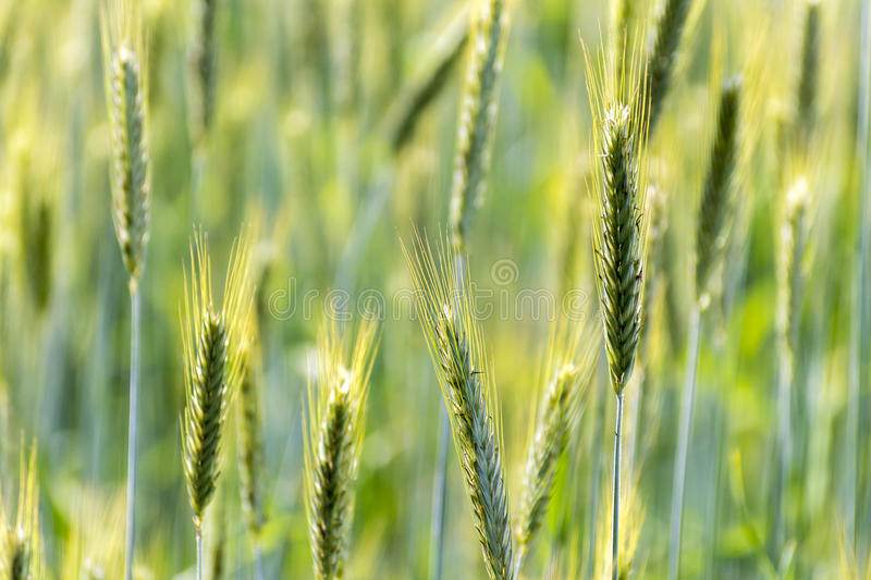 Wheats Plants Detail. Spring Green Wheat royalty free stock images