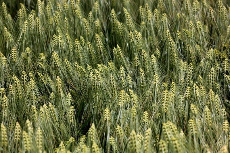 Wheats ucho fotografia royalty free