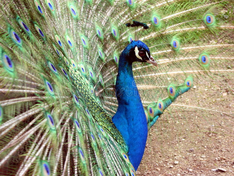 Download Wheel Of The Peacock Stock Photo - Image: 24285570