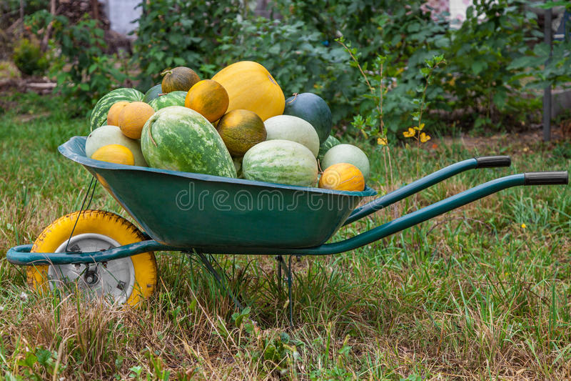 Wheelbarrow με την πρόσφατα συγκομισμένη συγκομιδή στοκ φωτογραφίες με δικαίωμα ελεύθερης χρήσης