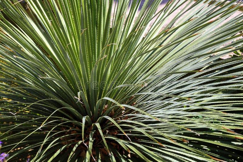 Wheeleri de Dasylirion Usine mexicaine de désert avec de longues feuilles pointues photos libres de droits