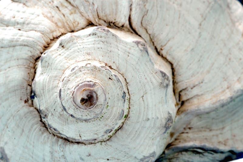Whelk el shell fotos de archivo