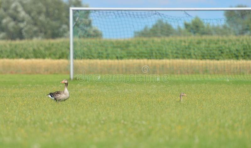 Where is the ball? royalty free stock images