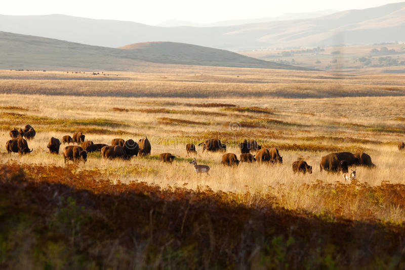 Download Where The Bison & Antelope Play Stock Image - Image: 21027765