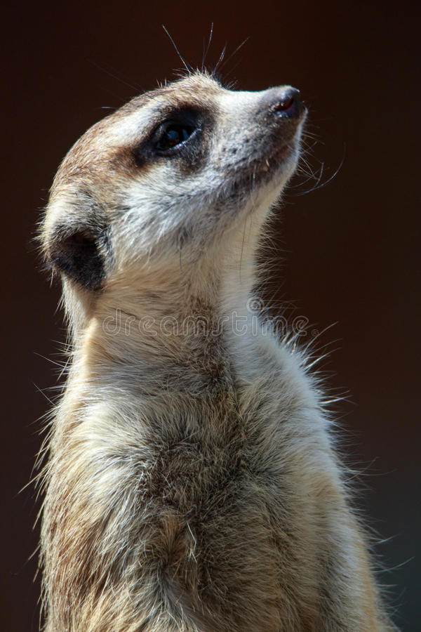 Where are we going. Meerkat looking off into the distance royalty free stock photo
