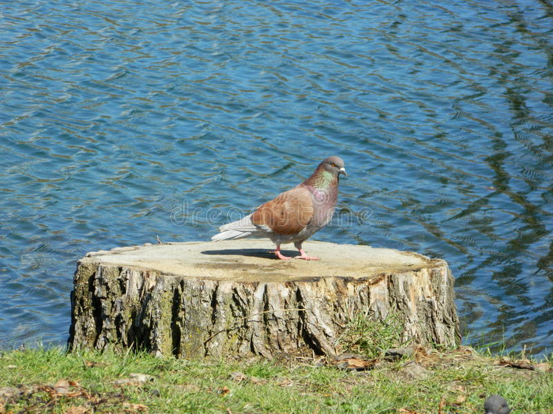 Where my home ?. Dove on the wooden stump