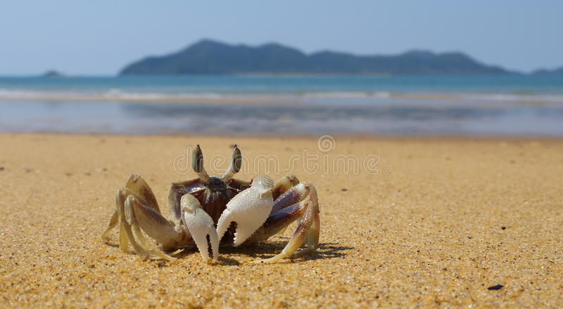 Fiddler Crab and Dunk Island. Fiddler crab on Mission Beach and Dunk Island in the background, Queensland in Australia stock images