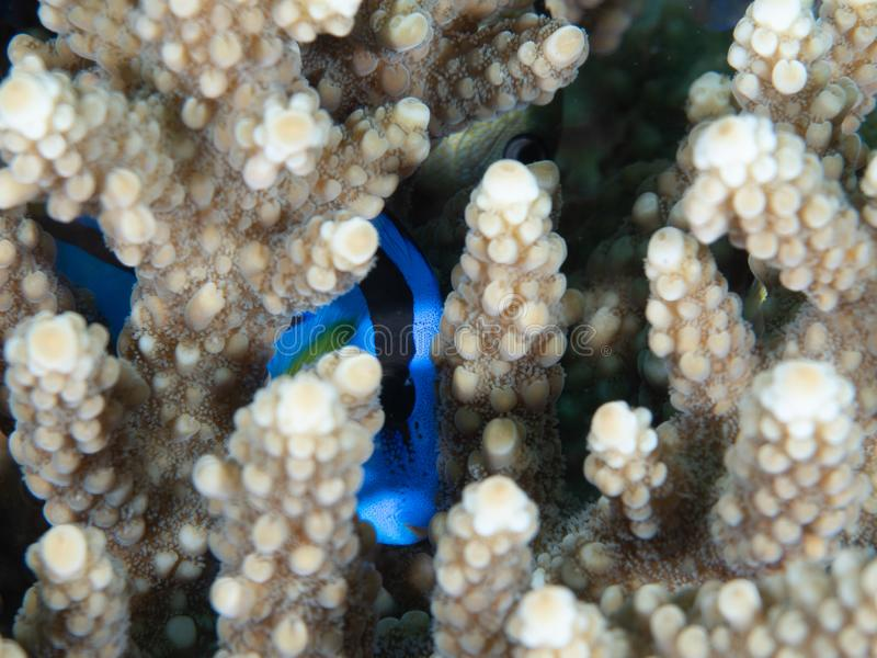 Where`s Dory! Scuba diving in North Sulawesi, Indonesia. Palette surgeonfish, Paracanthurus hepatus, hiding in branches of hard coral. Dory from Finding Nemo royalty free stock photos