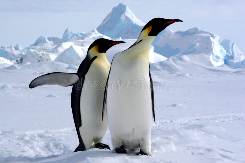 Where is the South Pole?. Emperor penguins Weddell sea (Antarctique