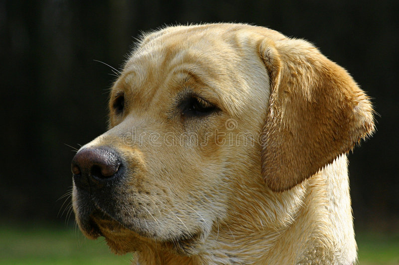 Download Where are you ? stock image. Image of face, puppy, labrador - 116887