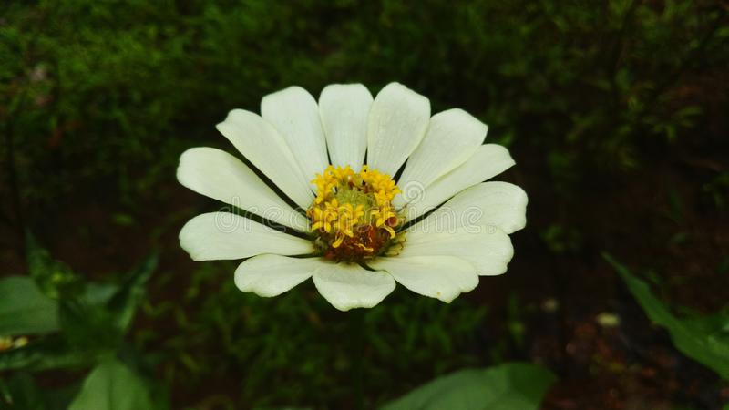 White Flower. It is a whi te simple flower stock photos