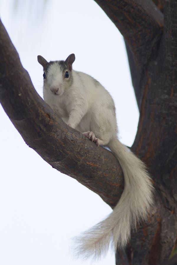 Whie ekorre på trädfilial arkivfoto