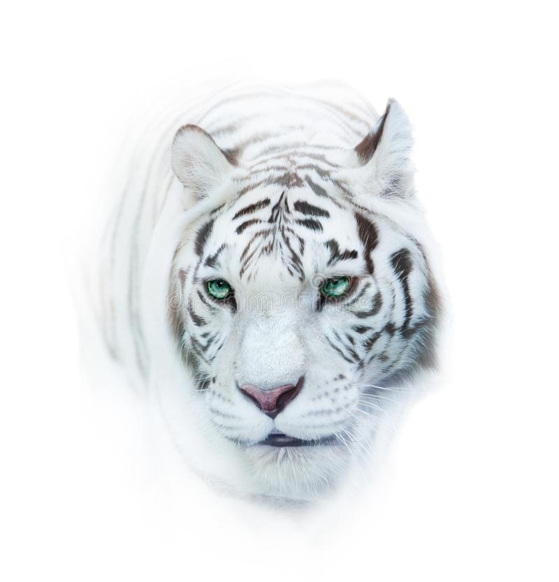 Whie tiger portrait over a white. Snowy whie tiger portrait over a white in high key royalty free stock photography