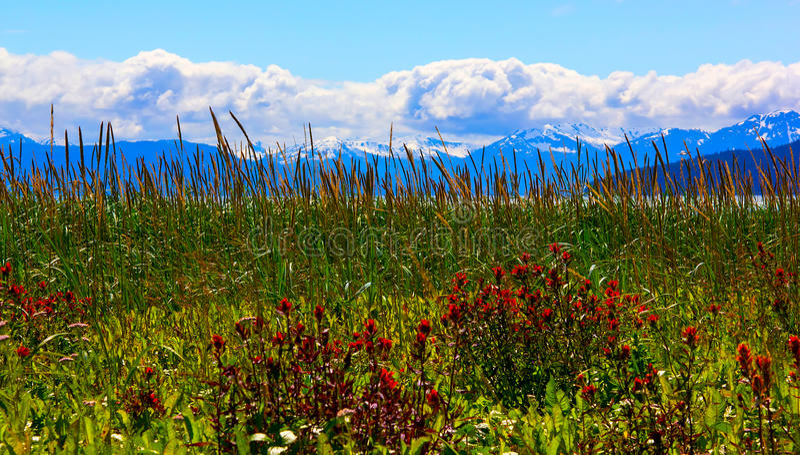 Whild kwitnie w lodowiec zatoki park narodowy, Alaska zdjęcia royalty free