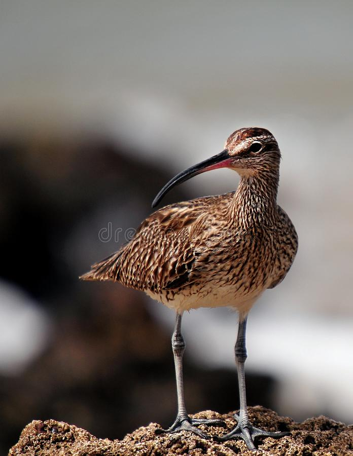 Whimbrel bird in Senegal royalty free stock image