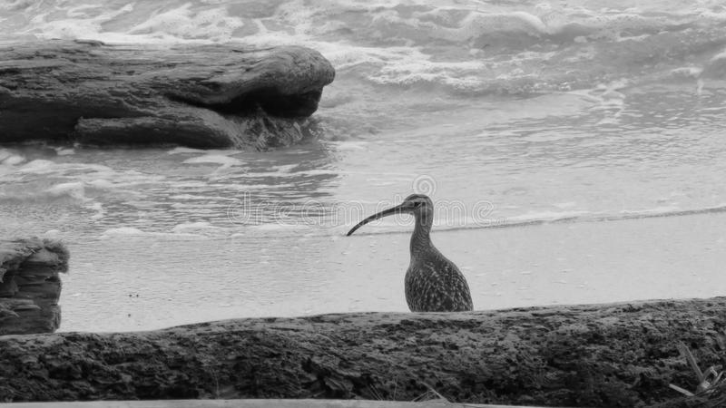 Whimbrel Curved billed shore bird. Large brown shorebird with decurved bill at a waving Caribbean Sea stock photo